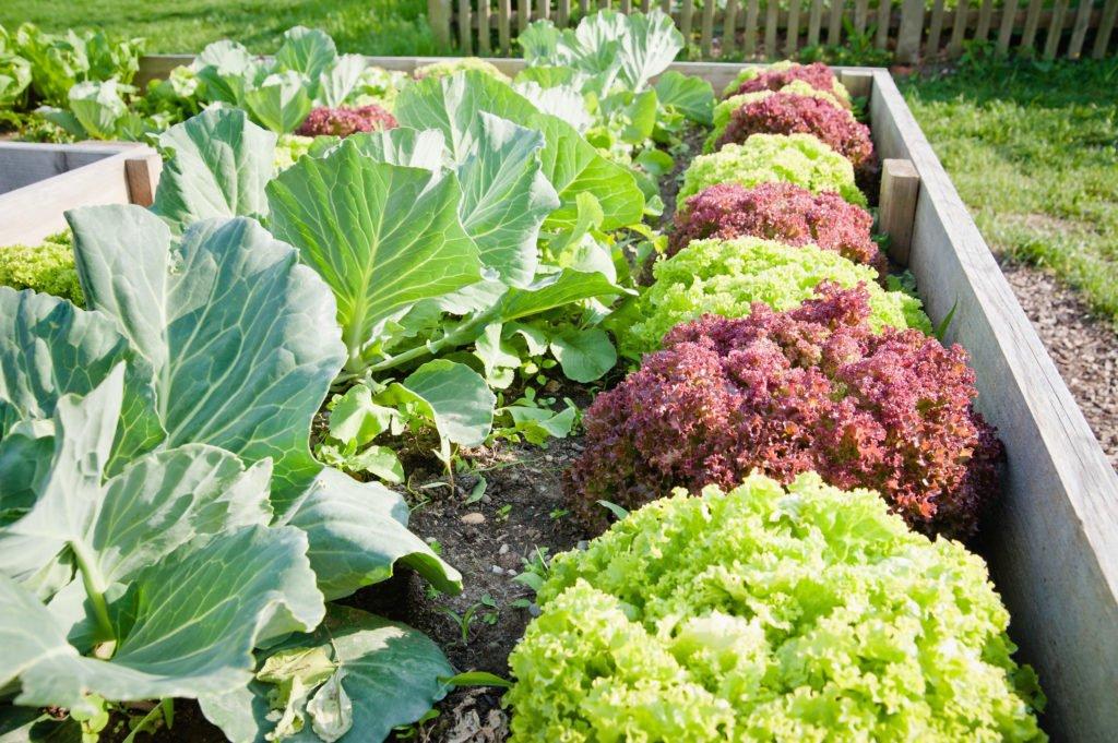 Blattsalate aus dem Selbstversorger Garten