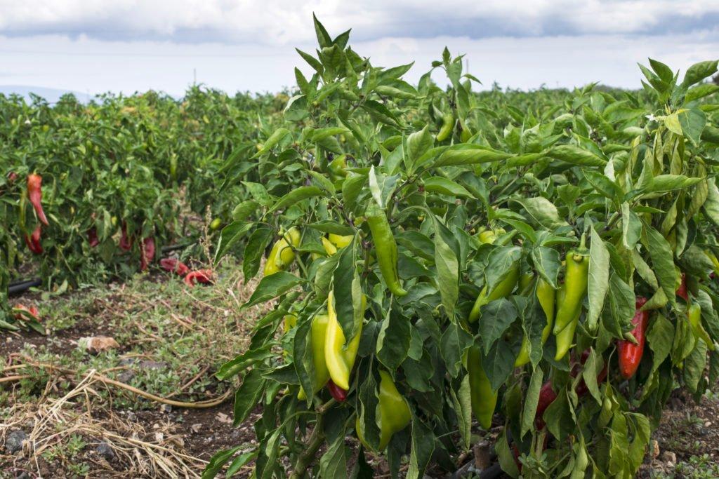 Paprika aus Selbstversorger Anbaugebiet