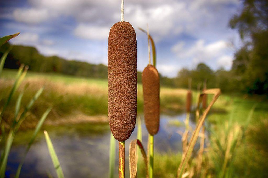 Wildwachsender Rohrkolben in einem Sumpfgebiet