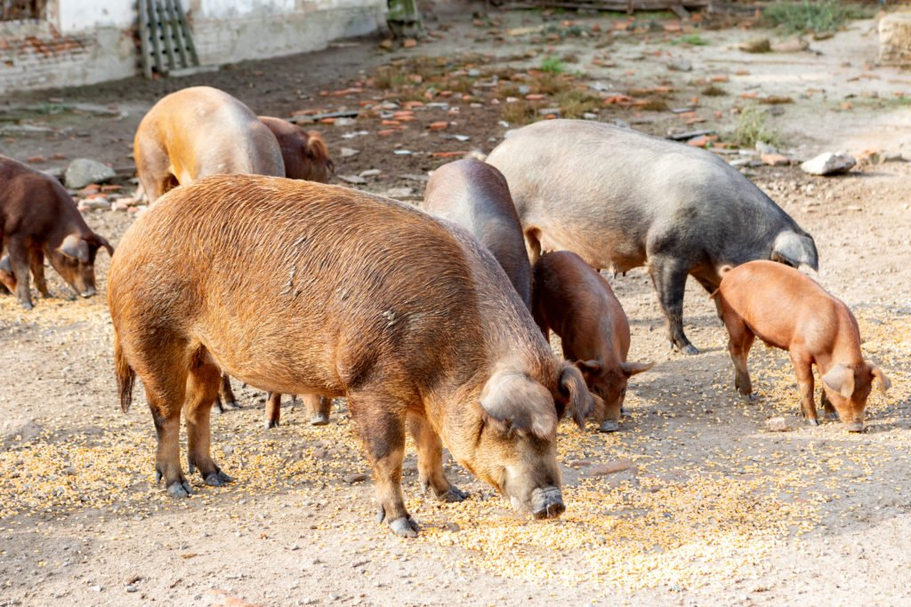 Schweine auf einem Selbstversorger Hof